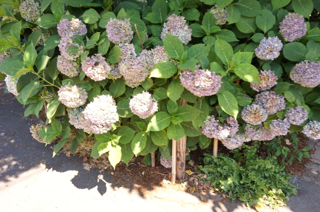 紫陽花も健気に咲いています。