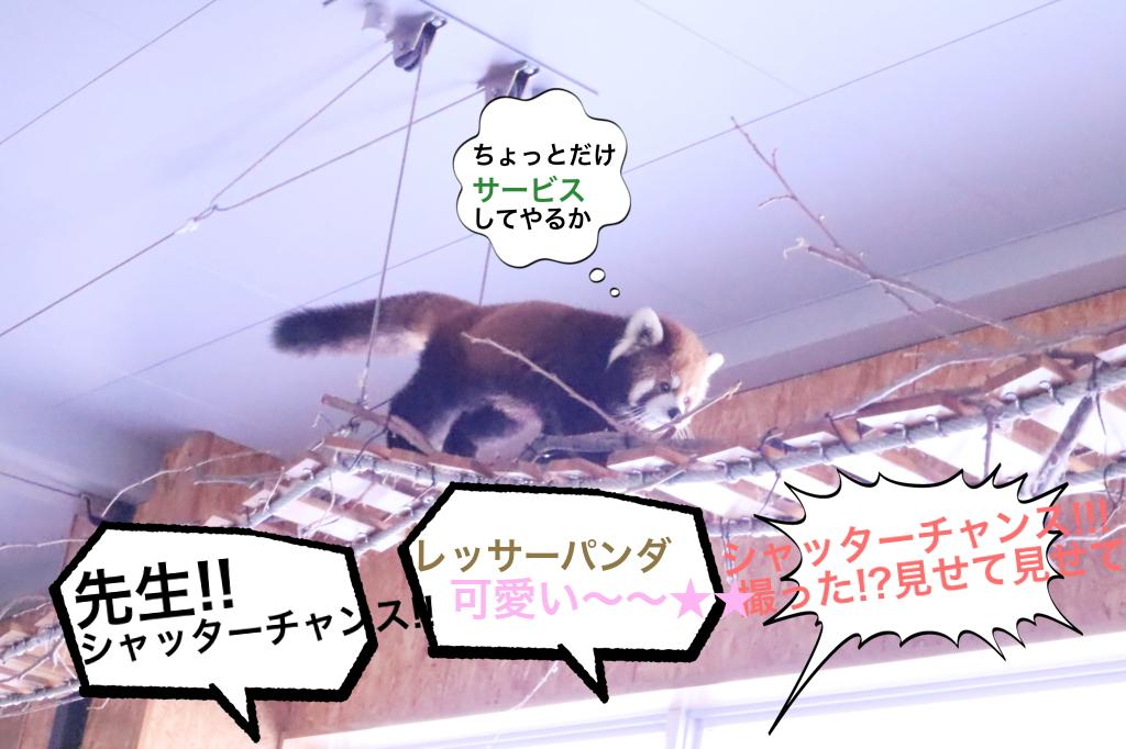 アイドルのレッサーパンダ